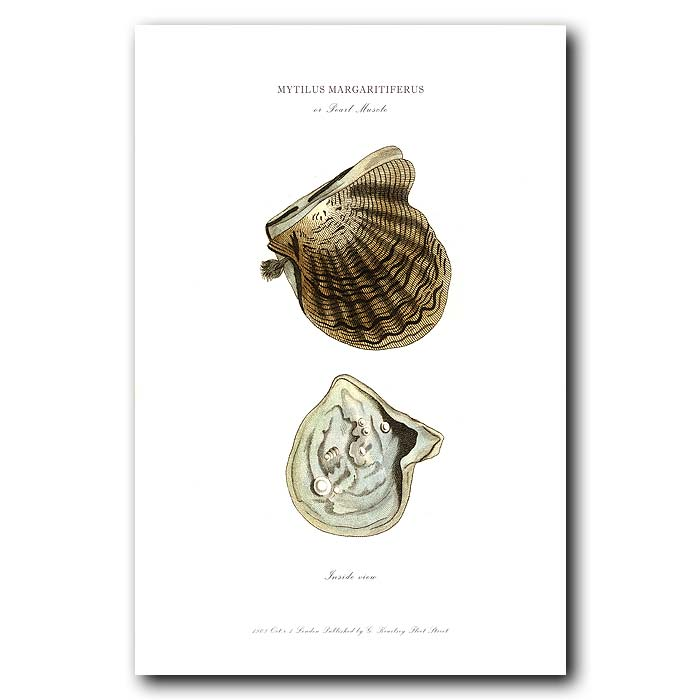 Fine art print for sale. Pearl Oyster with Pearls