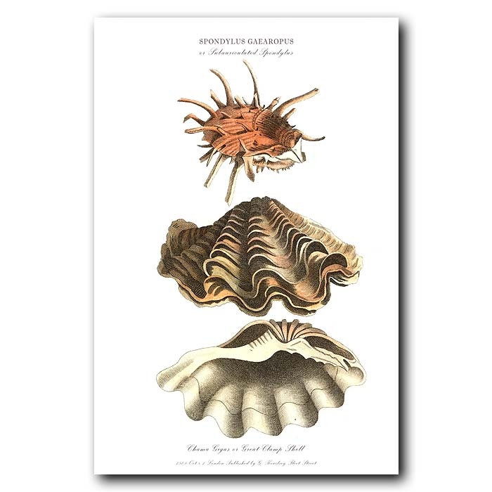 Fine art print for sale. Great Clam & Thorny Oyster