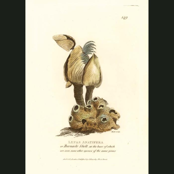 Fine art print for sale. Barnacle Shell