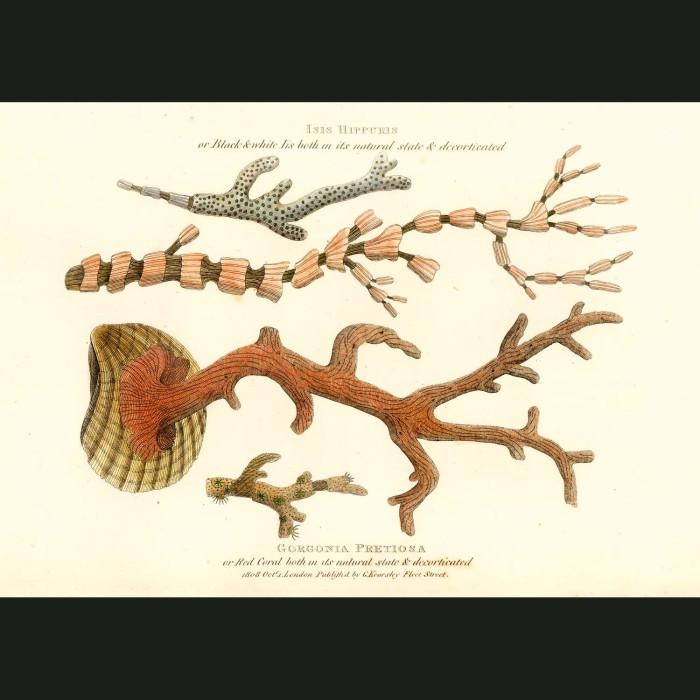 Fine art print for sale. Red Coral (Gorgonia pretiosa)