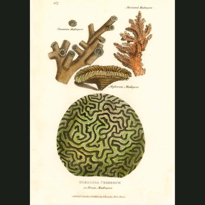 Fine art print for sale. Brain Coral