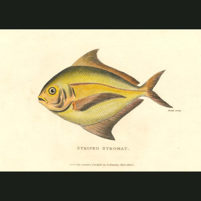 Fine art print for sale. Striped Stromat Fish