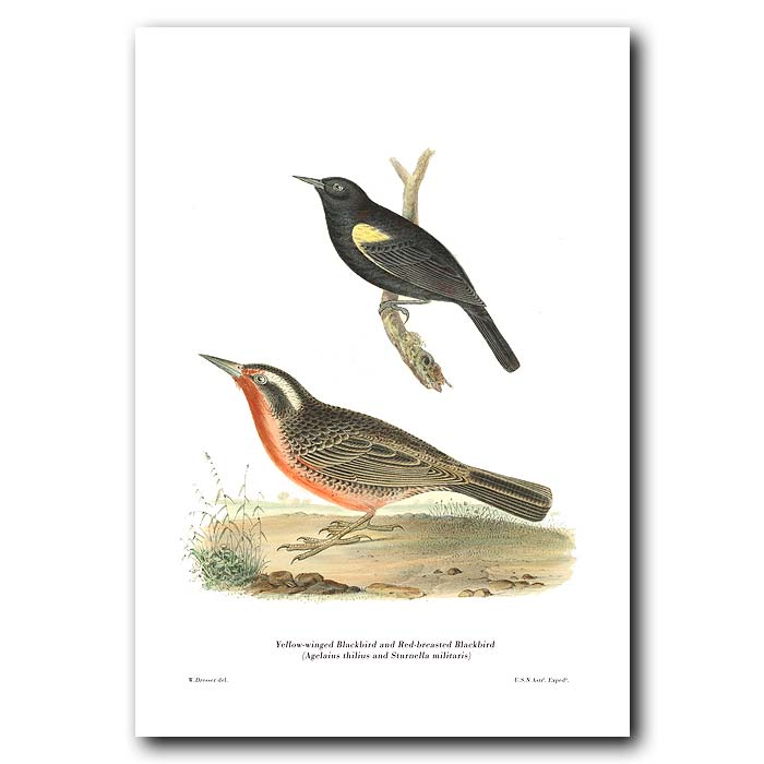 Fine art print for sale. Yellow-Winged & Red-Breasted Blackbirds