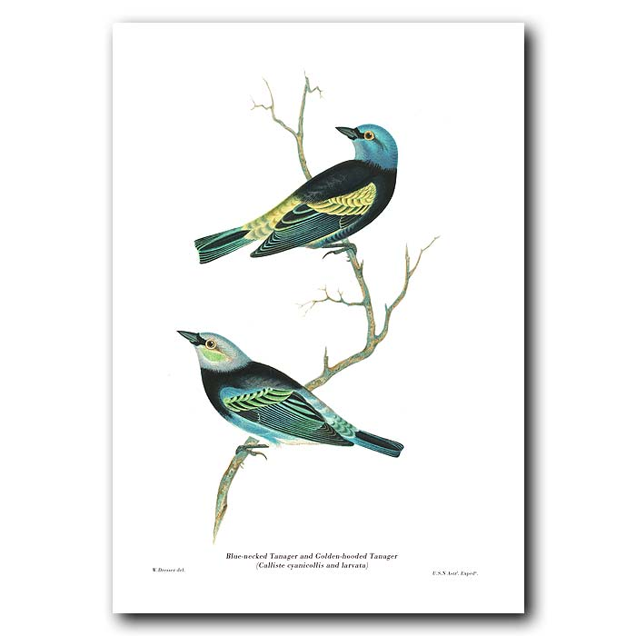 Fine art print for sale. Blue-Necked Tanager & Golden-Hooded Tanager
