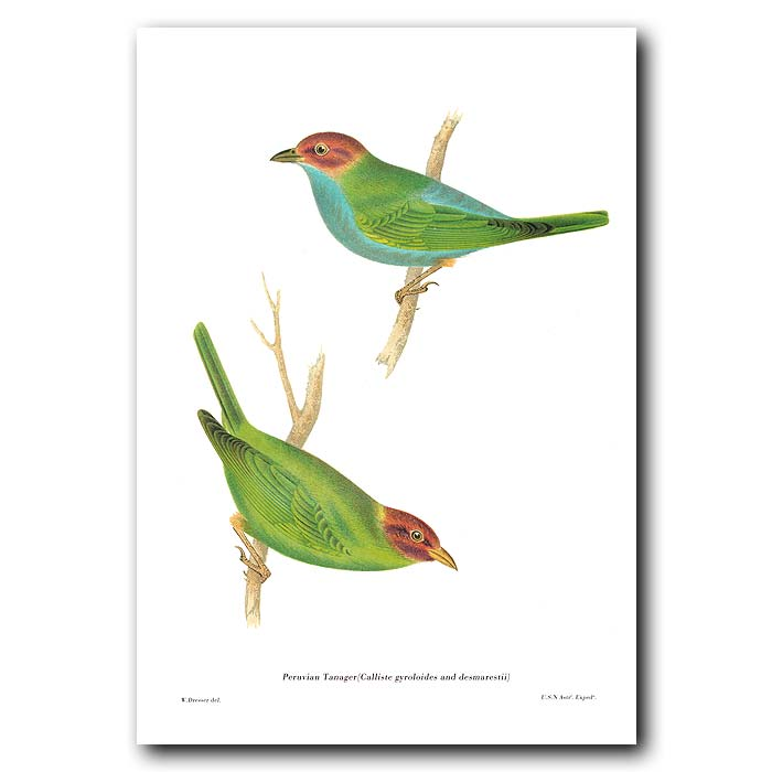 Fine art print for sale. Peruvian Tanagers