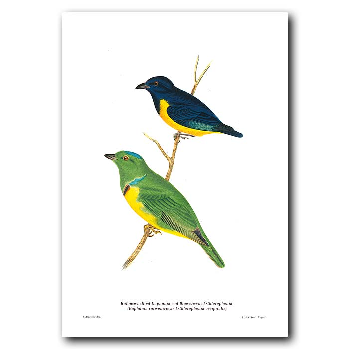 Fine art print for sale. Rufouse-Bellied Euphunia & Blue-Crowned Chlorophonia