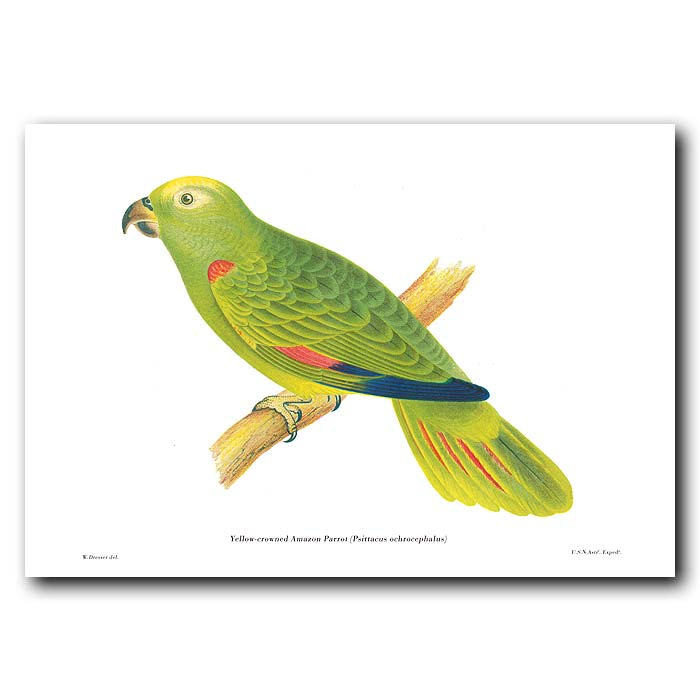 Fine art print for sale. Yellow-Crowned Amazon Parrot