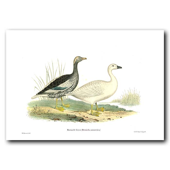 Fine art print for sale. Barnacle Geese