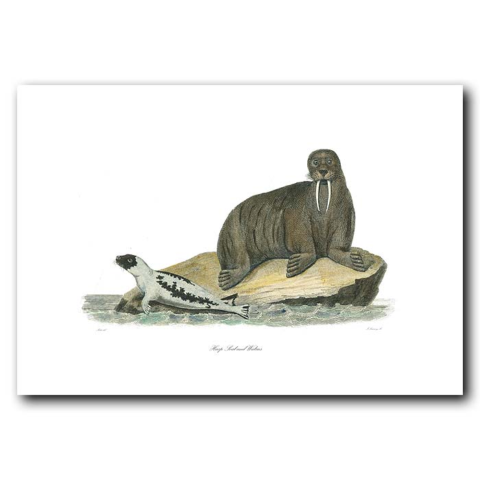 Fine art print for sale. Harp Seal And Walrus