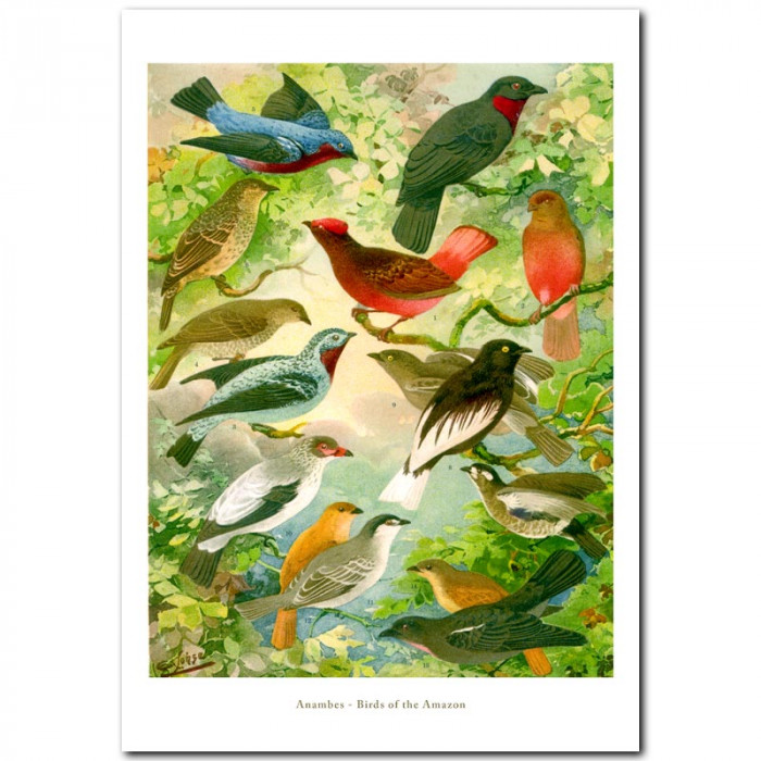Fine art print for sale. Birds Of The Amazon (Anambes)