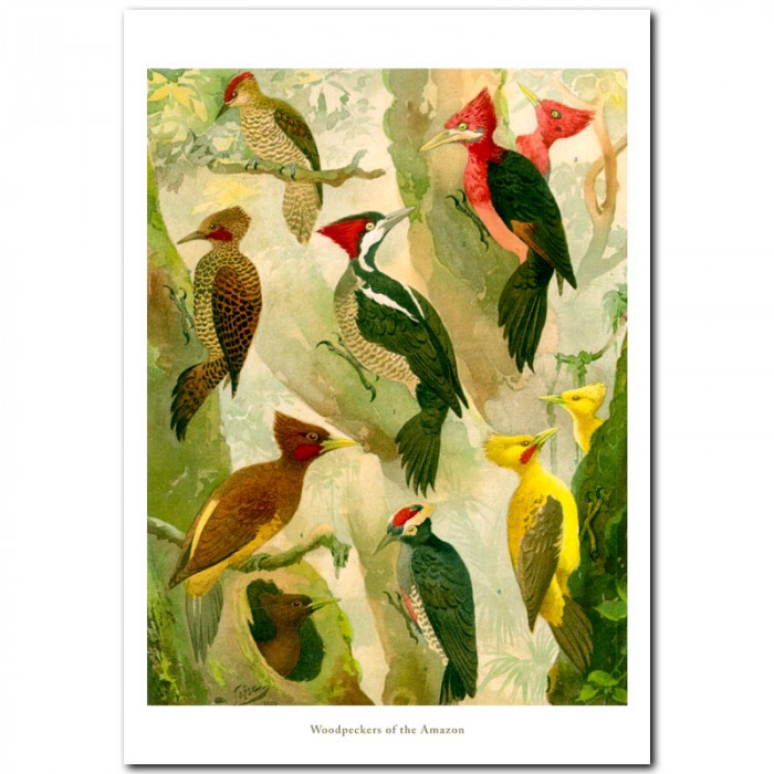 Fine art print for sale. Woodpeckers Of The Amazon