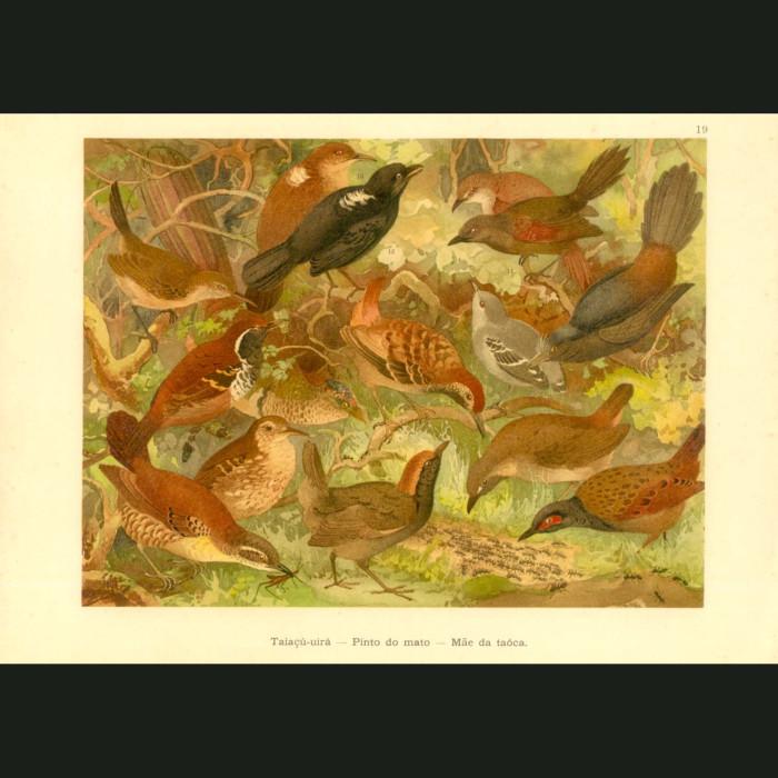 Fine art print for sale. Antbirds Of The Amazon
