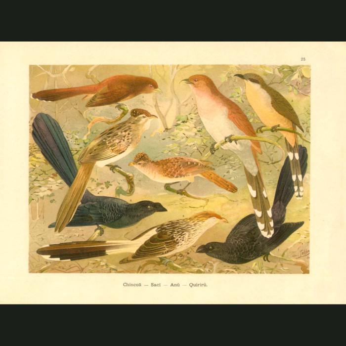 Fine art print for sale. Cuckoos Of The Amazon