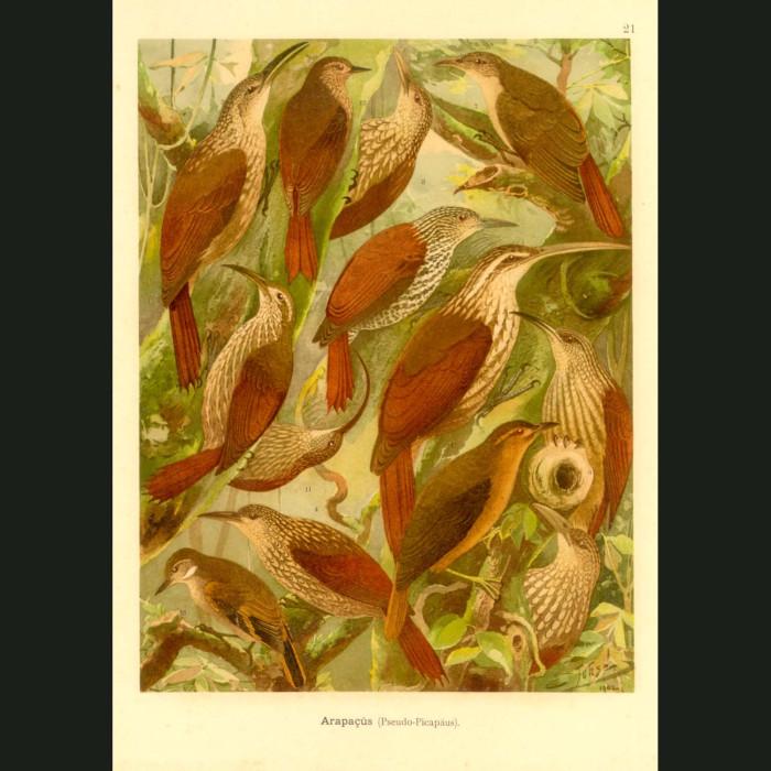 Fine art print for sale. Woodcreeper Birds Of The Amazon