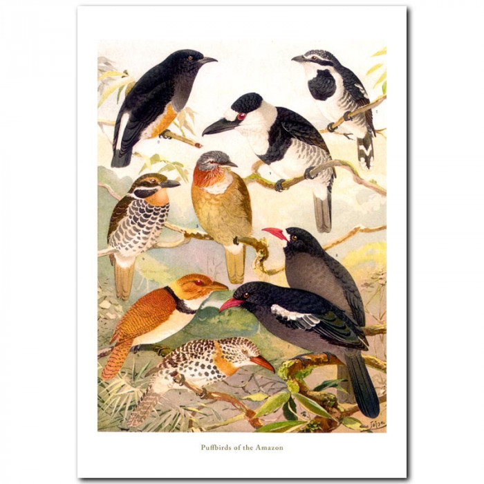 Fine art print for sale. Puffbirds Of The Amazon