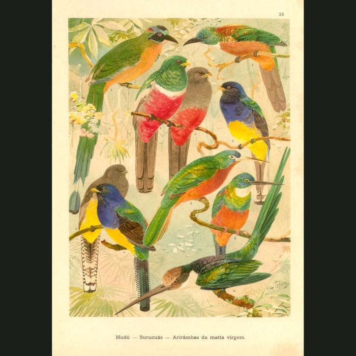 Fine art print for sale. Motmot, Jacamar and Trogon Birds Of The Amazon