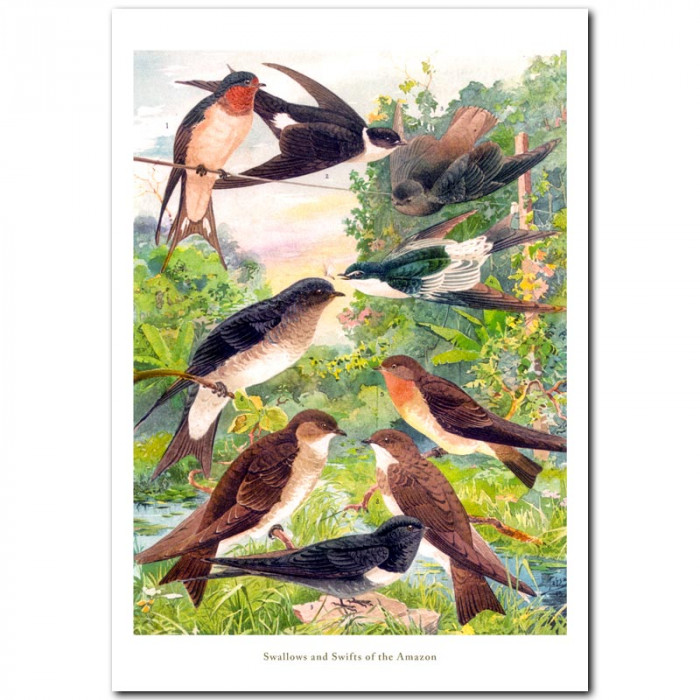 Fine art print for sale. Swallows and Swifts Of The Amazon