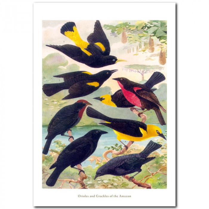 Fine art print for sale. Orioles and Grackles Of The Amazon