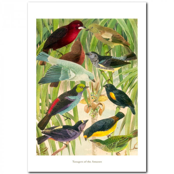 Fine art print for sale. Tanagers Of The Amazon