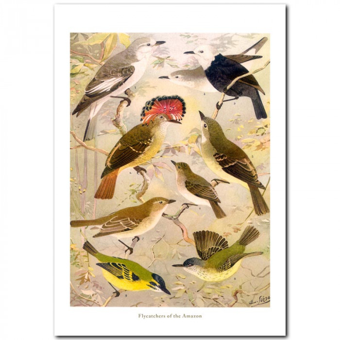 Fine art print for sale. Flycatchers Of The Amazon