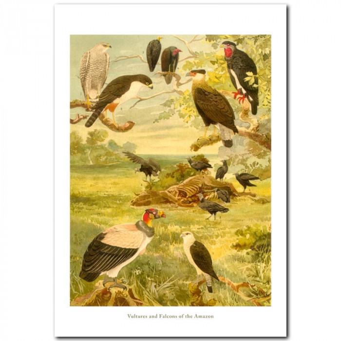 Fine art print for sale. Falcons and Vultures Of The Amazon
