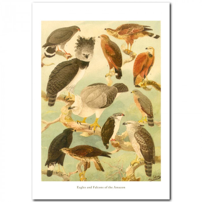 Fine art print for sale. Eagles and Falcons Of The Amazon