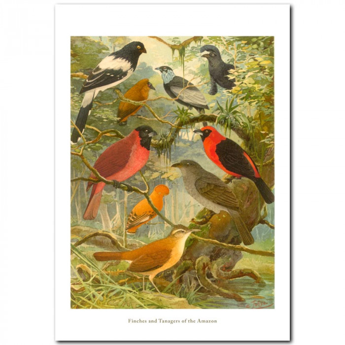 Fine art print for sale. Finches and Tanagers Of The Amazon