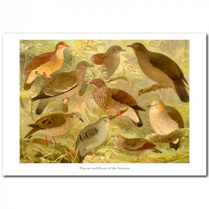 Fine art print for sale. Pigeons and Doves Of The Amazon