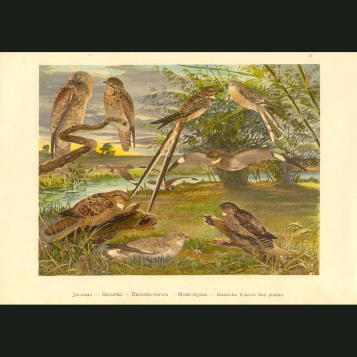 Fine art print for sale. NIghtjars Of The Amazon