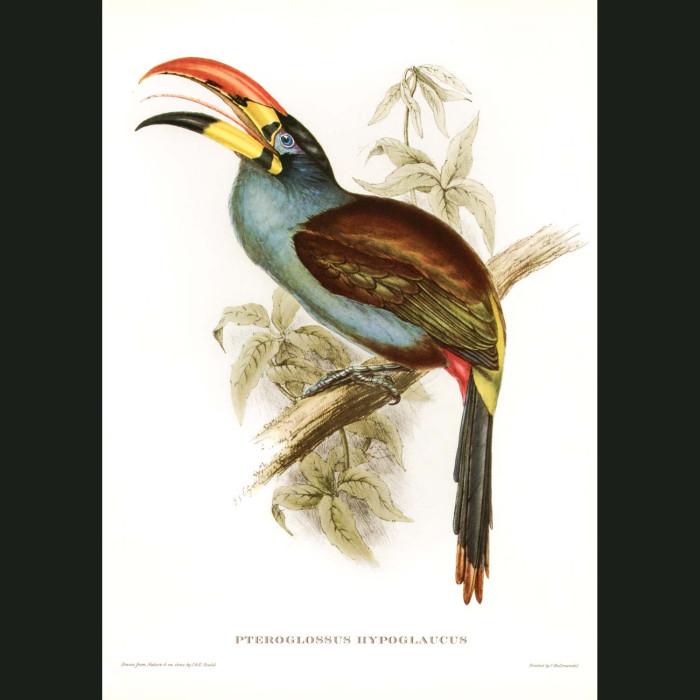 Fine art print for sale. Toucan: Grey Breasted Aracari (Pteroglossus Hypoglaucus)