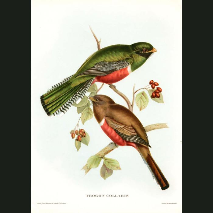 Fine art print for sale. Collared Trogon (Trogon Collaris)