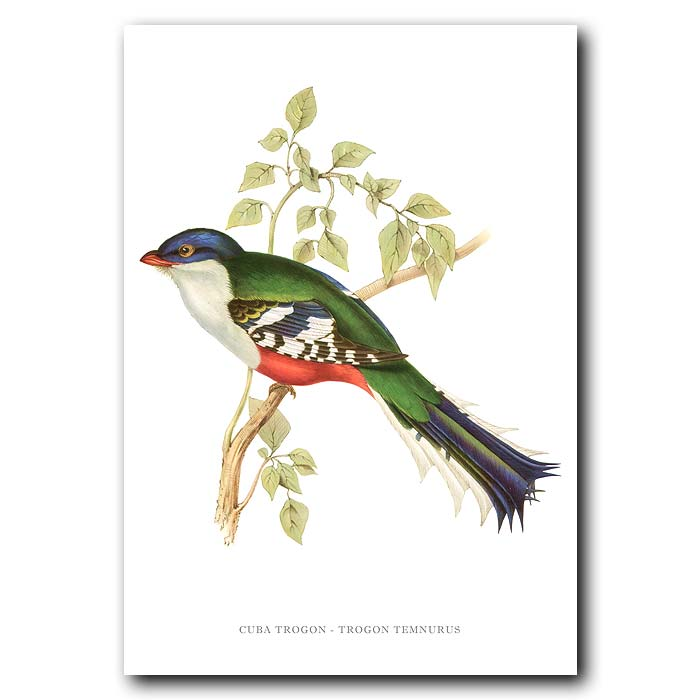 Fine art print for sale. Cuba Trogon. (Trogon Temnurus)