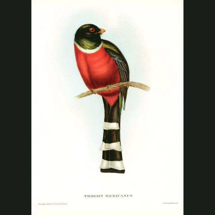 Fine art print for sale. Mexican Trogon. (Trogon Mexicanus)