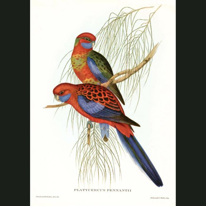 Fine art print for sale. Pennant's Parakeets (Crimson Rosellas)