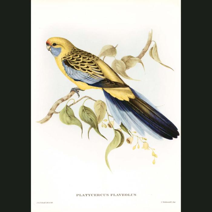 Fine art print for sale. Yellow-Rumped Parakeet. (Platycercus Flaveolus)