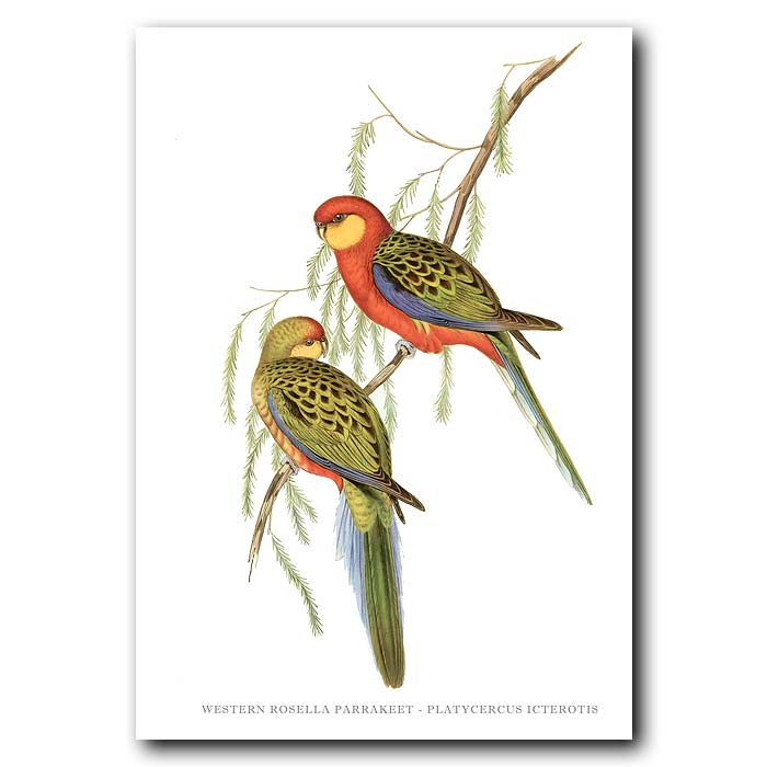 Fine art print for sale. Western Rosella. (Platycercus Icterotis)