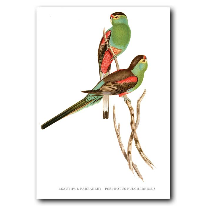 Fine art print for sale. Beautiful Parakeet. (Psephotus Pulcherrimus)