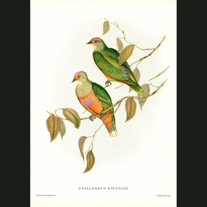 Fine art print for sale. Ewing's Fruit Pigeons. (Ptilinopus Ewingii)