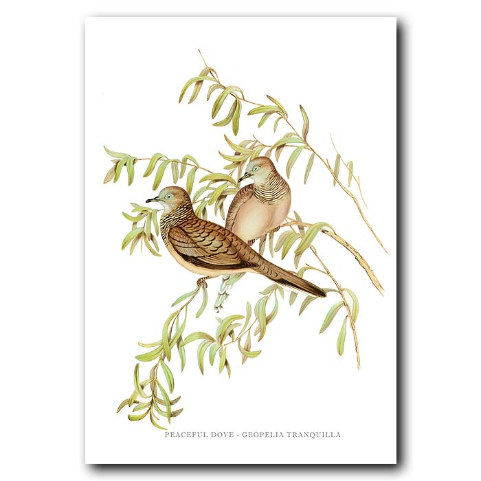 Fine art print for sale. Peaceful Dove. (Geopelia Tranquilla)