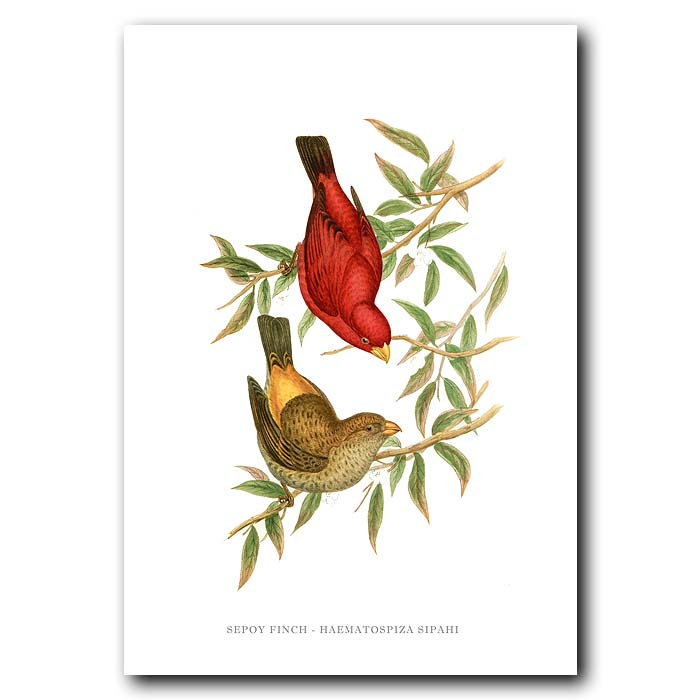 Fine art print for sale. Sepoy Finch. (Haematospiza Sipahi)