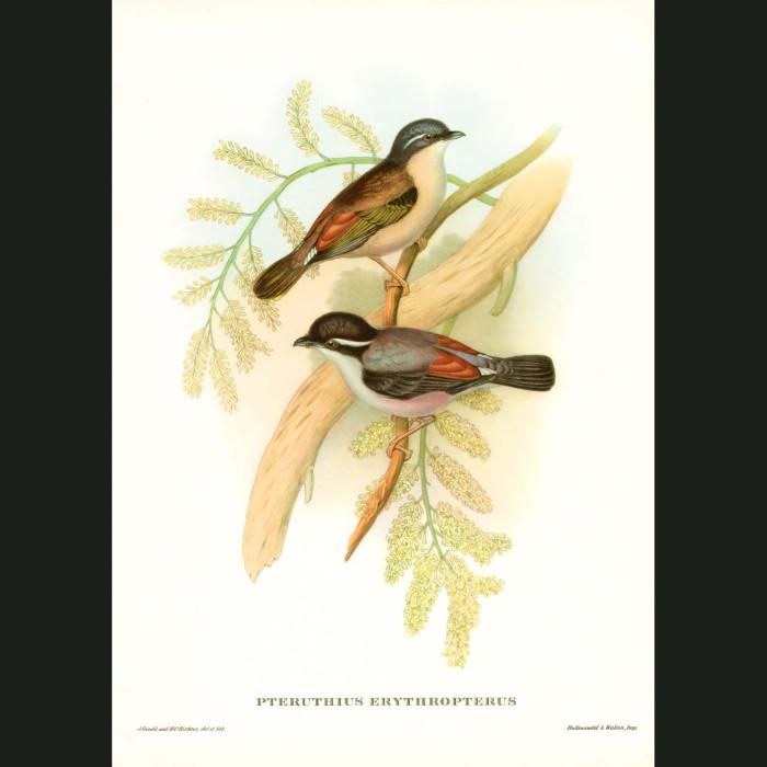 Fine art print for sale. Redwinged Shrike-Tit. (Pteruthius Erythropterus)