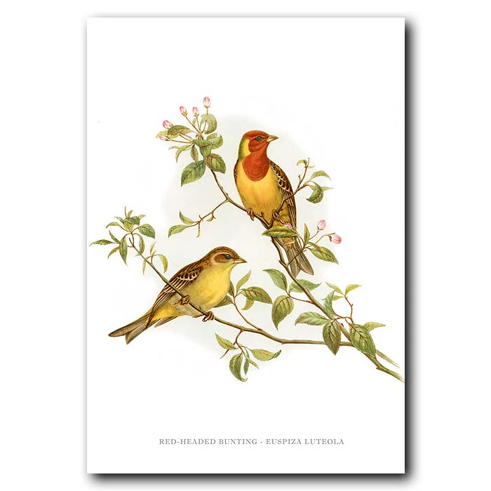Fine art print for sale. Red Headed Bunting. (Euspiza Luteola)
