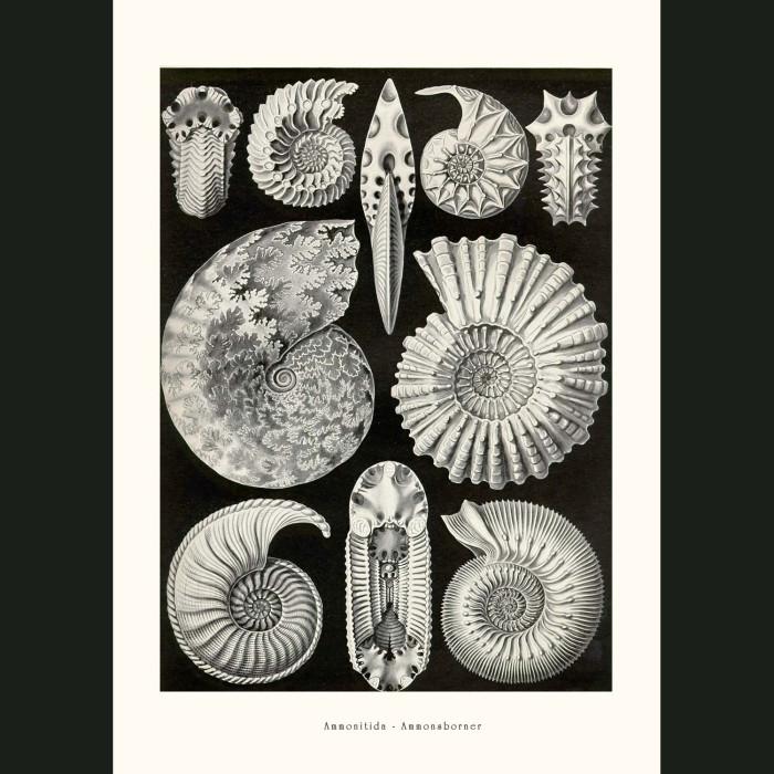 Fine art print for sale. Fossil Ammonites