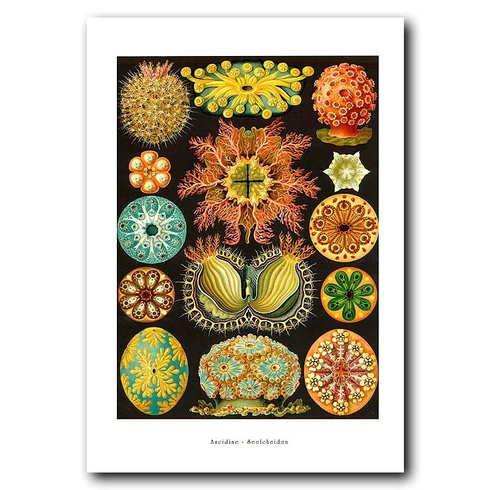 Fine art print for sale. Ascidians (Sea Squirts)