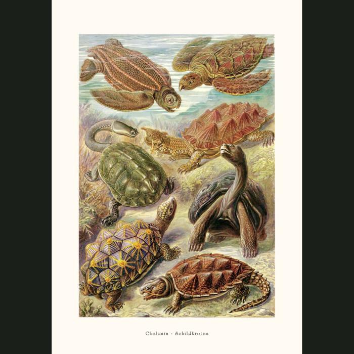 Fine art print for sale. Turtles