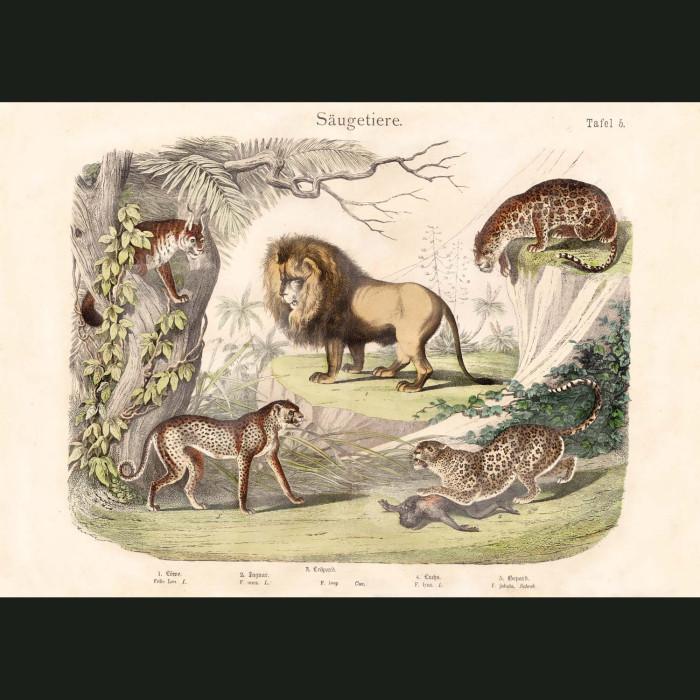 Fine art print for sale. Lion, Jaguar, Leopard, Cheetah & Lynx