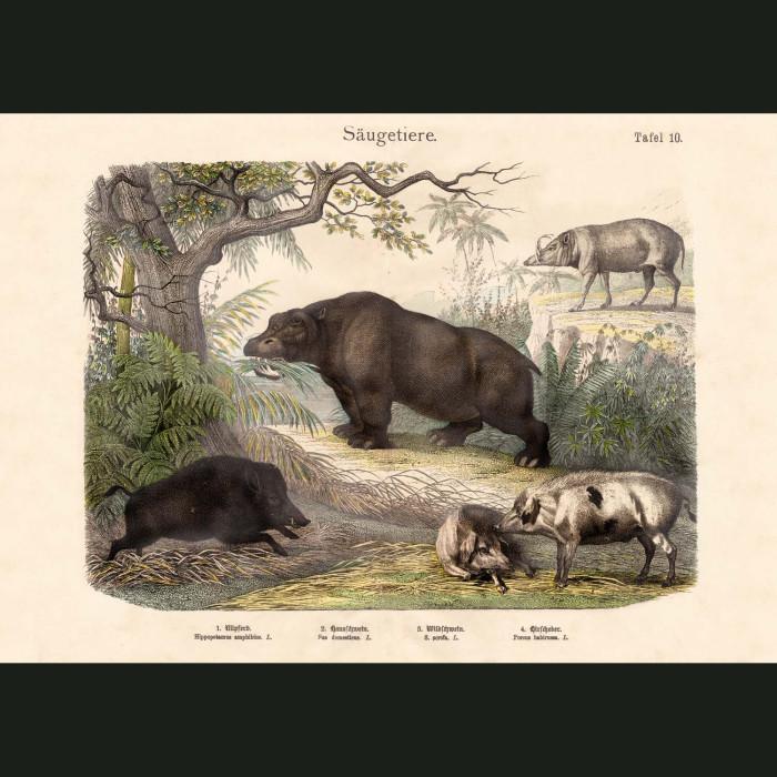 Fine art print for sale. Hippopotamus And Pigs