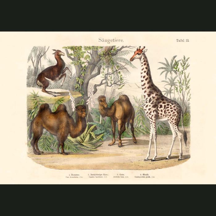 Fine art print for sale. Camels, Giraffe & Llama