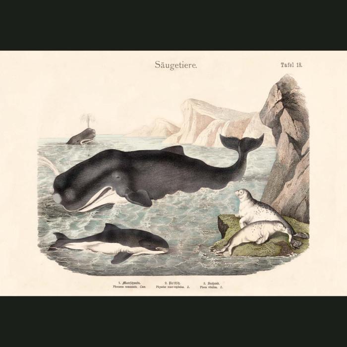 Fine art print for sale. Orca Whale, Sperm Whale & Harbour Seals