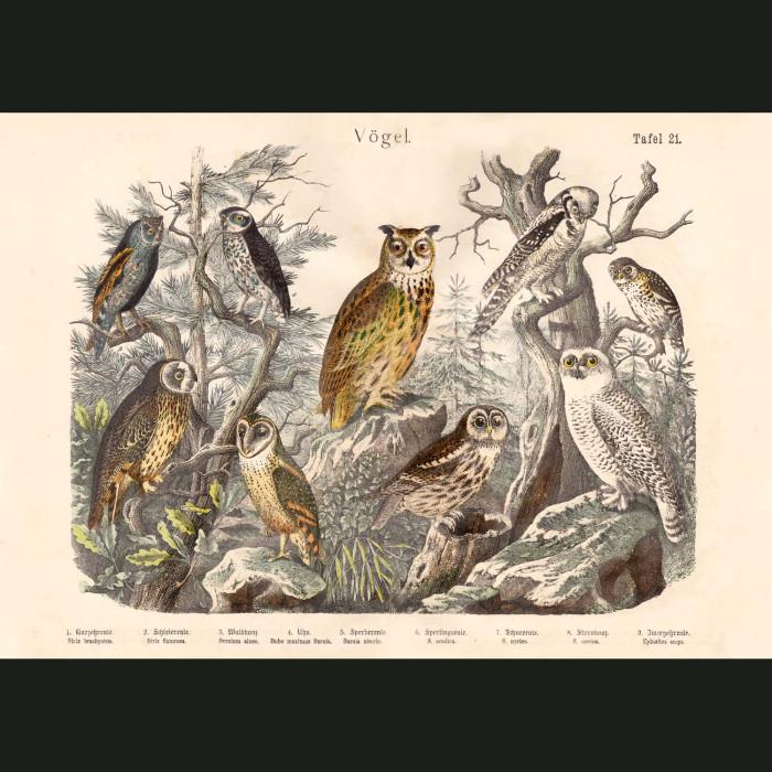 Fine art print for sale. Snowy, Barn, Scops & Eagle Owls